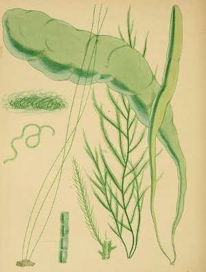Algas verdes, Chlorophytas, clorófitas