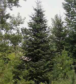 Abeto caracter sticas hoja y fruto tipos diferencias for Tipos de pinos para jardin fotos