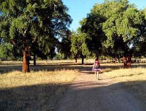 Alcornoque, Quercus suber
