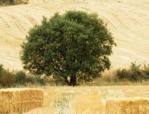 Encina, Quercus ilex