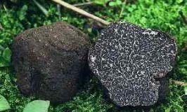 Trufa negra, tuber melanosporum