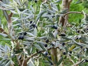 Olivo árbol, Olea europaea