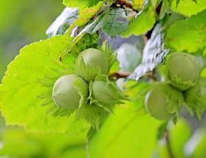 Avellano común (Corylus avellana), cultivo y poda. Avellanas, propiedades y beneficios
