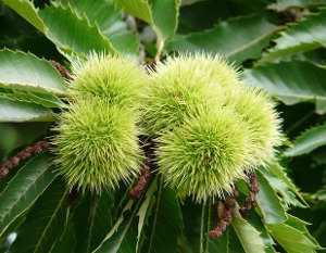 Castaño árbol, Castanea sativa