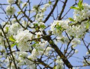 Cerezo en flor, Prunus avium
