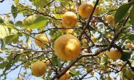 Limonero, Citrus limon