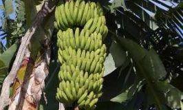 Plátano, musa spp