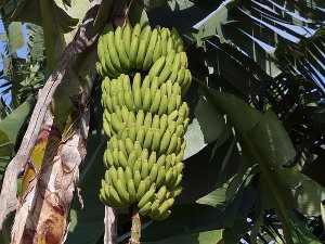 Plátano (Musa spp), cuidados de la planta. Propiedades del plátano