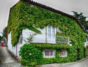 10 plantas trepadoras decorativas para vayas y muros for Plantas trepadoras para muros