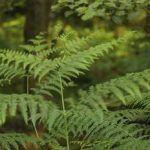 Helechos: clasificación, características, ciclo de vida y evolución