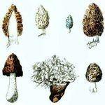 Ascomicetos (Ascomycota): características, morfología y reproducción