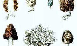 Ascomicetos, Ascomycota
