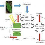 Fotosíntesis: especial atención al proceso fotosintético de las plantas