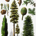 Gimnospermas (Gymnospermae) – plantas con semillas desnudas
