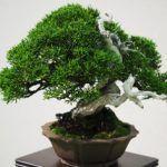Bonsái – recrea un diminuto árbol natural en un macetero
