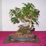 Cuidados del bonsái: abono, riego, sustratos y macetas
