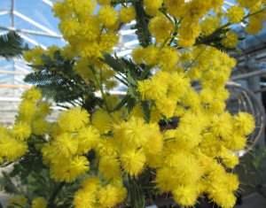 Arboles de hoja perenne tambi n llamados perennifolios for Arboles para veredas hojas perennes