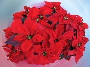 Flor de Navidad, Euphorbia pulcherrima, poinsettia, flor de pascua