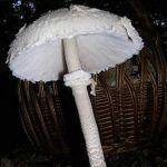 Macrolepiota procera, ficha del hongo o seta parasol