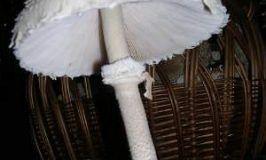 Macrolepiota procera, parasol