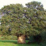 Roble común, Quercus robur,características, hoja, fruto y clasificación