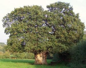 Roble común, Quercus robur