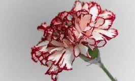 Clavel, Dianthus caryophyllus