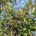 Arándano azul (V. corimbosum), características y propiedades del fruto