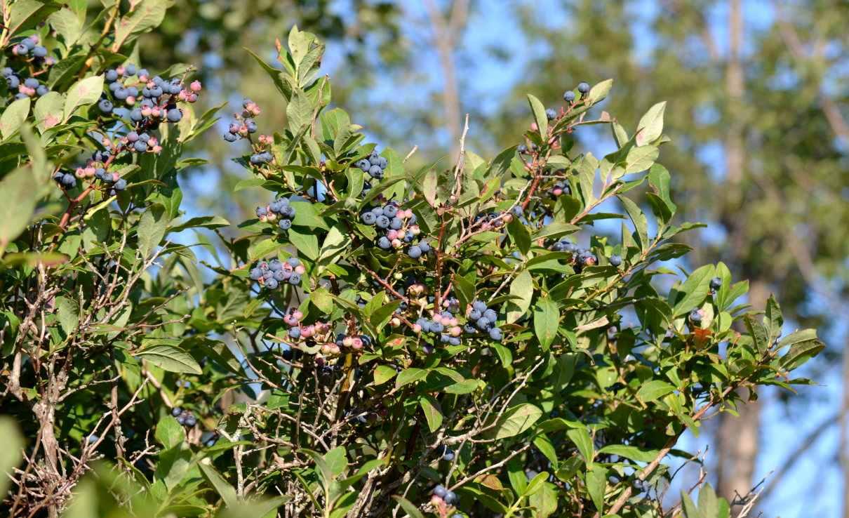 Arándano azul, Vaccinium corimbosum