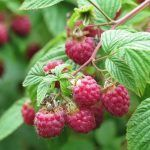 Frambuesa, propiedades y beneficios. Rubus idaeus, características y crecimiento
