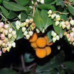 Madroño, Arbutus unedo, un arbusto con frutos comestibles