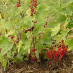 Grosella, Ribes rubrum, un arbusto nativo de Europa y Asia
