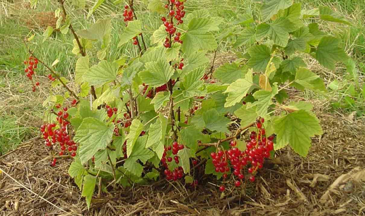 Grosella, Ribes rubrum