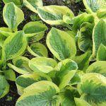 Sistema inmunitario de las plantas, inmunidad activa y pasiva