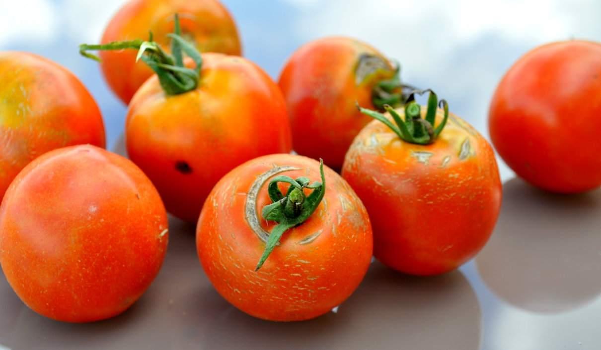 Tomate, Solanum lycopersicum