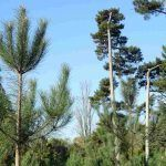 Pinus pinaster (pino marino), conífera que se ha extendido prolíficamente