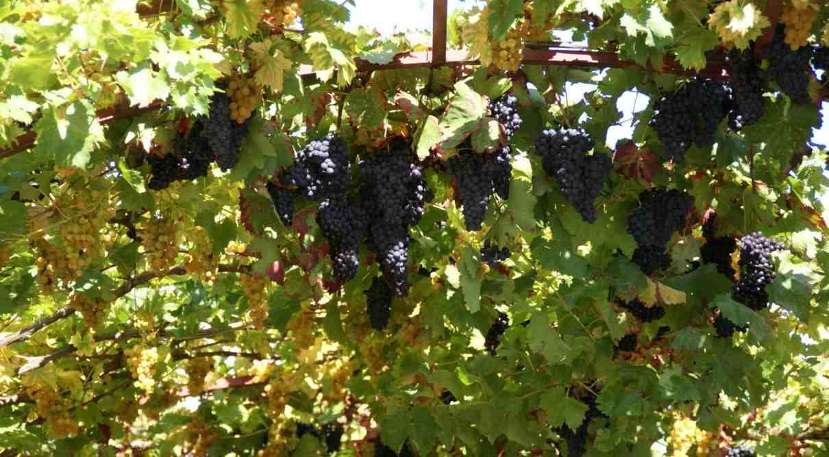 Vid (Vitis vinifera)