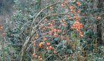 Caqui, Diospyros kaki, cultivo, fruto y sus propiedades