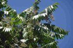 Cedro americano, Cedrela odorata, características y crecimiento