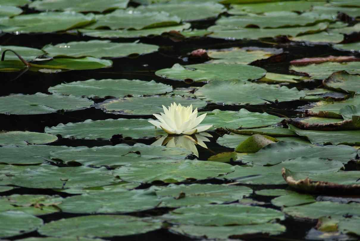 Plantas acuáticas, hidrófitas
