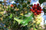 Acebo, Ilex aquifolium, un arbusto típico en Navidad