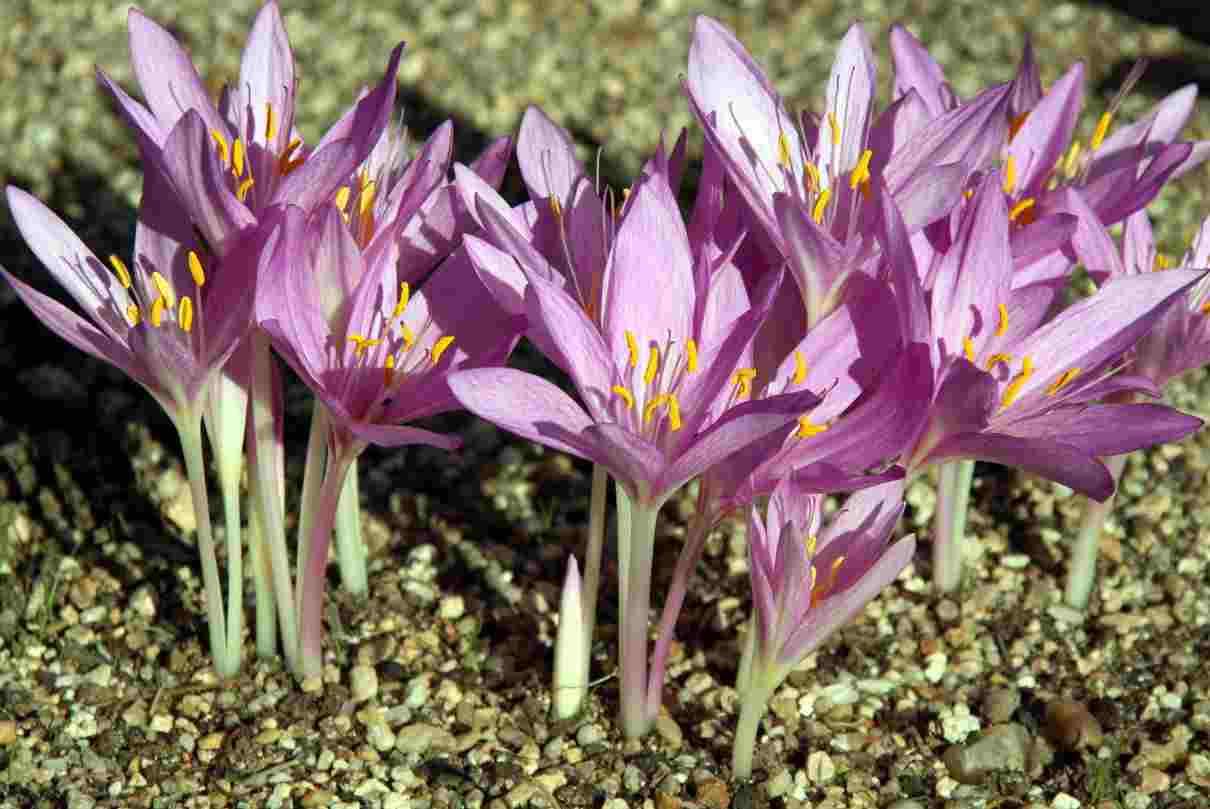 Azafrán, Croccus sativus