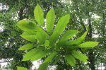 Castaño (castanea sativa), hoja, flor y fruto, cuidados. Castañas propiedades