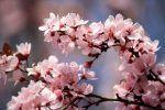 Ciruela (Prunus domestica), variedades y propiedades. Ciruelo árbol
