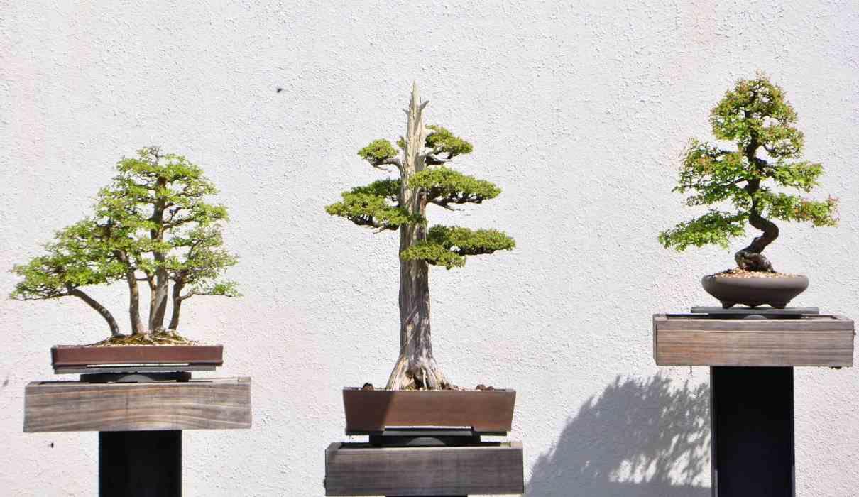 Clasificación de los bonsáis