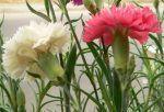 Clavel, Dianthus caryophyllus, características, cuidados y cultivo