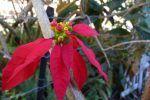 Flor de navidad (Pascua), poinsettia, Euphorbia pulcherrima