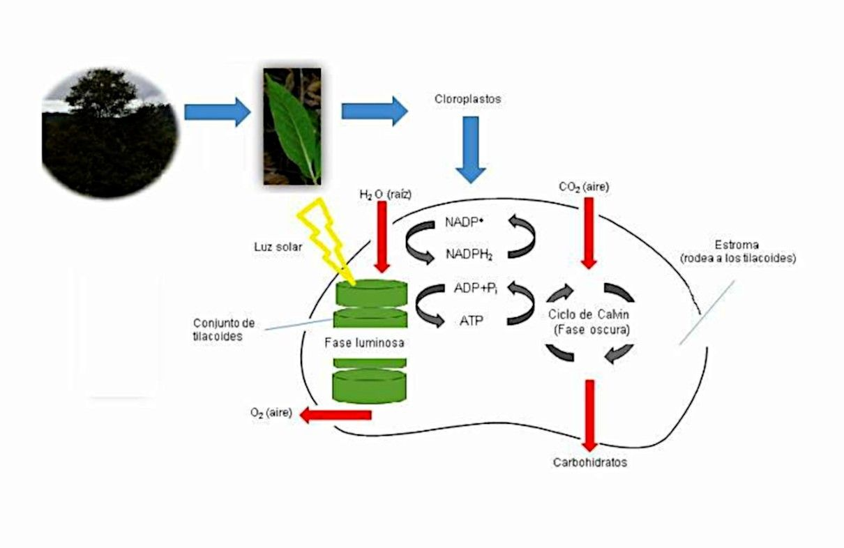 Fotosíntesis de las plantas, procesos o fases