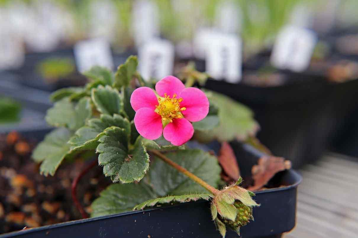 Planta de la frase con fruto y flor, Fragaria x ananassa