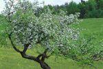 Manzana: características, propiedades y tipos. Manzano árbol, su cultivo